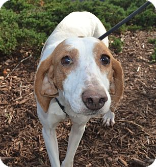 Hound (Unknown Type)/Labrador Retriever Mix Dog for adoption in Wilmington, North Carolina - Lemon Grace