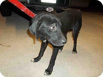 Labrador Retriever Mix Puppy for adoption in Newnan City, Georgia - Connor