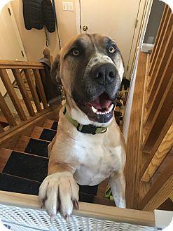 Mastiff/Anatolian Shepherd Mix Dog for adoption in Prior Lake, Minnesota - Sampson