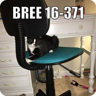 Domestic Mediumhair Cat for adoption in York County, Pennsylvania - 16-371 Bree