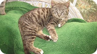 Domestic Shorthair Cat for adoption in Myrtle Beach, South Carolina - Ricky