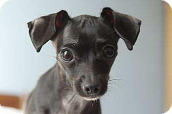 Chihuahua/Dachshund Mix Dog for adoption in Romeoville, Illinois - Cleo