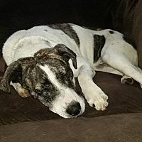 Boxer/Pointer Mix Dog for adoption in Huntley, Illinois - Remington