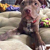 Adopt A Pet :: Rainbow-Adopted! - Detroit, MI