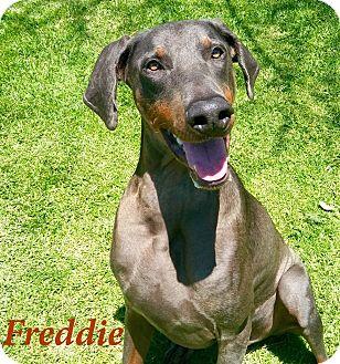 Doberman Pinscher Dog for adoption in El Cajon, California - Freddie