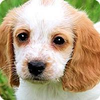 Adopt A Pet :: DUNCAN(PETIT BASSET GRIFFON) - Wakefield, RI