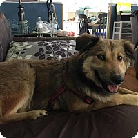 Australian Shepherd/Collie Mix Dog for adoption in Frederick, Maryland - Diva