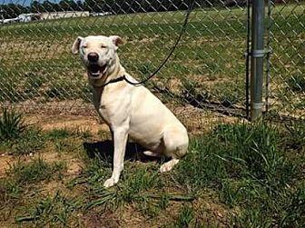 Labrador Retriever Mix Dog for adoption in Raleigh, North Carolina - Snow