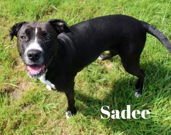 American Pit Bull Terrier Mix Dog for adoption in Melbourne, Kentucky - Sadee