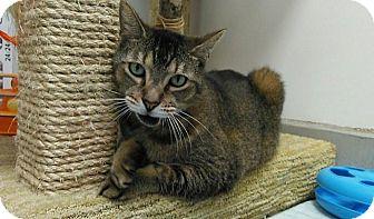 Abyssinian Cat for adoption in Sarasota, Florida - Roscoe
