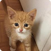 Adopt A Pet :: .Orange Crush - Baltimore, MD