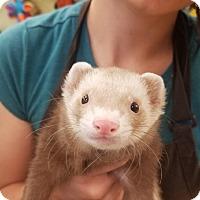 Adopt A Pet :: Pack - Ogden, UT