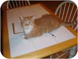 Domestic Shorthair Cat for adoption in Hamburg, New York - Orbit