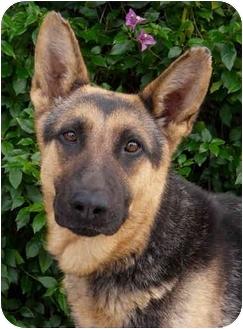 German Shepherd Dog Puppy for adoption in Los Angeles, California - Daisy von Denzinger