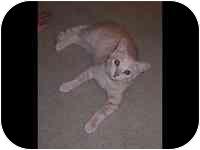 Domestic Shorthair Cat for adoption in Tampa, Florida - Nala