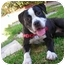 Photo 2 - Boxer/Pit Bull Terrier Mix Dog for adoption in San Diego, California - Phoebe