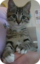 Domestic Shorthair Kitten for adoption in Arlington, Virginia - Cassi