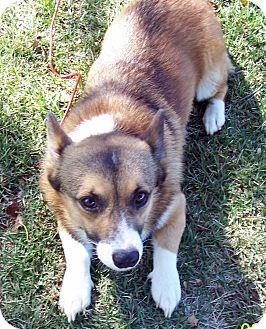 Corgi Dog for adoption in Washburn, Missouri - Max