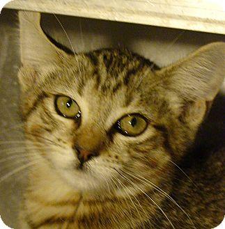 Domestic Shorthair Kitten for adoption in El Cajon, California - Michelle
