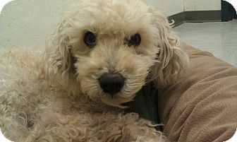Poodle (Miniature) Dog for adoption in New Windsor, New York - Mr. Magoo