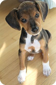 Beagle Mix Puppy for adoption in Wytheville, Virginia - Annie Faith