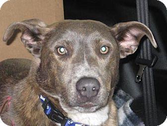 Labrador Retriever Mix Puppy for adoption in berwick, Maine - Sage