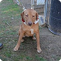 Boxer/Pit Bull Terrier Mix Dog for adoption in Albemarle, North Carolina - Sleepy