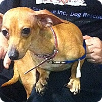 Dachshund/Chihuahua Mix Dog for adoption in Miami, Florida - Emmy