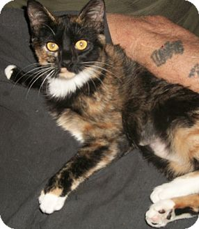 Domestic Shorthair Cat for adoption in Buhl, Idaho - Rags