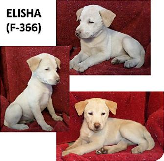 Labrador Retriever Mix Puppy for adoption in Olympia, Washington - Elisha
