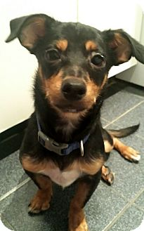 Miniature Pinscher/Chihuahua Mix Puppy for adoption in Madison, New Jersey - Gorgeous Gonzo
