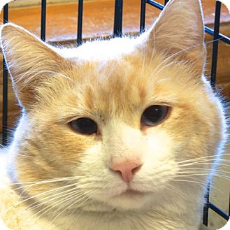 Domestic Shorthair Cat for adoption in Sprakers, New York - Snowball