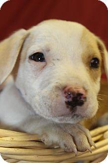 Hound (Unknown Type) Mix Puppy for adoption in Waldorf, Maryland - Abner