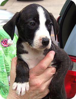 Australian Shepherd/Beagle Mix Puppy for adoption in Minneapolis, Minnesota - Mindy