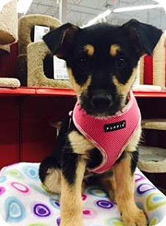 Australian Shepherd/Australian Cattle Dog Mix Puppy for adoption in Phoenix, Arizona - Rochelle