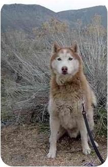 Siberian Husky Dog for adoption in Northridge, California - Toby
