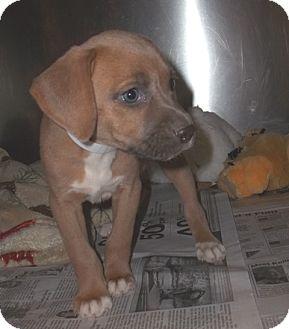 American Staffordshire Terrier Mix Puppy for adoption in Warrenton, North Carolina - Hansel, Greta, Shayla and Grac