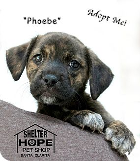 Cattle Dog Mix Puppy for adoption in Valencia, California - Pheobe