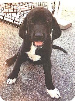 Labrador Retriever Mix Puppy for adoption in Pulaski, Tennessee - Brock