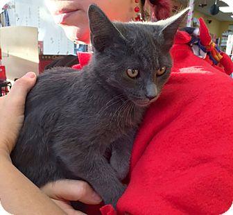 Russian Blue Kitten for adoption in Lombard, Illinois - Armani