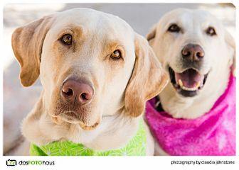 Labrador Retriever Dog for adoption in Phoenix, Arizona - Abbey