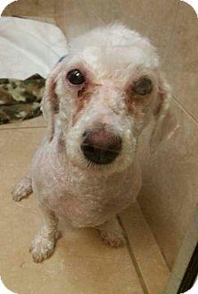 Miniature Poodle Mix Dog for adoption in Ft. Lauderdale, Florida - Samson
