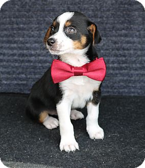 Rat Terrier/Beagle Mix Puppy for adoption in Pluckemin, New Jersey - Hanson