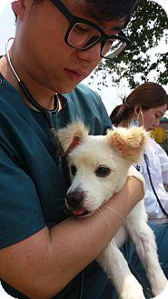 Spitz (Unknown Type, Small) Mix Dog for adoption in Oakton, Virginia - Wren