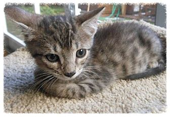 Domestic Shorthair Kitten for adoption in Tampa, Florida - Anakin Skywhiskers