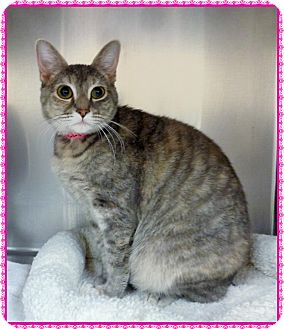 Domestic Shorthair Cat for adoption in Marietta, Georgia - SALLY-available 2/07