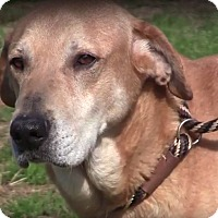 Adopt A Pet :: Sandy - New Canaan, CT