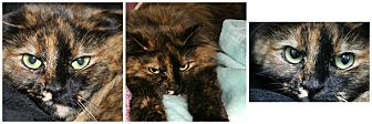 Domestic Longhair Cat for adoption in Forked River, New Jersey - Boo