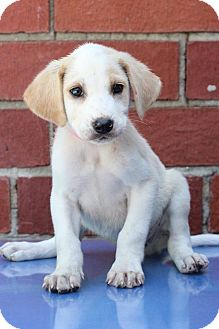 Pointer Mix Puppy for adoption in Waldorf, Maryland - Duck
