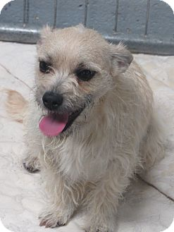 Cairn Terrier/Jack Russell Terrier Mix Puppy for adoption in Santa Clara, New Mexico - Gracie